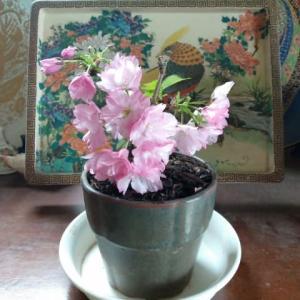 桜盆栽 咲きました〜 と デッカイ洋種椿ギリオヌチオ