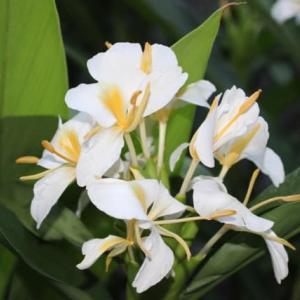 エキゾチックな 夏の花 ジンジャーリリー スパイダーリリー そして アメリカデイゴ