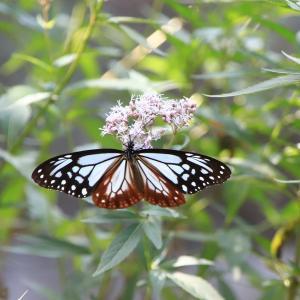 渡り蝶 「 アサギマダラ 」 飛来