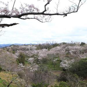 平草原公園のソメイヨシノの開花状況 ( 6分咲きくらい )