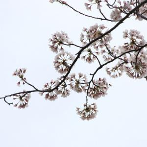 平草原公園のソメイヨシノは満開