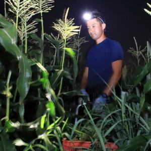「 和歌山しらはま農家遠藤 」 さんのトウモロコシの収穫と発送作業