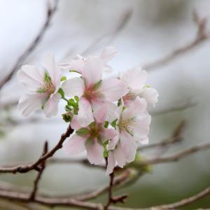 シキザクラの開花