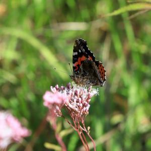 我が家にも渡り蝶 「 アサギマダラ 」 がやって来た