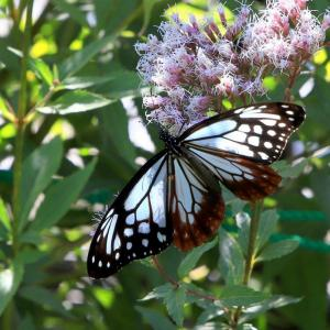 飛来する渡り蝶 「 アサギマダラ 」