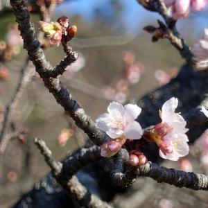 今年も咲いた道端のヒガンザクラ