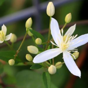 美しい有毒植物センニンソウ ( 馬食わず )