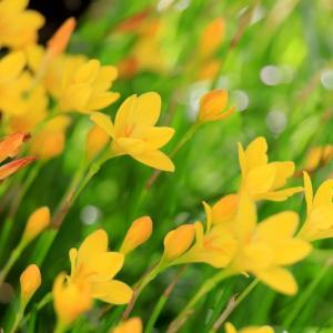 健気で美しく見事に咲く 『 キバナサフランモドキ 』 の花
