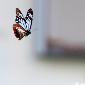 飛び回る渡り蝶 「 アサギマダラ 」