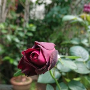 2021/06/26 薔薇の2番花たち