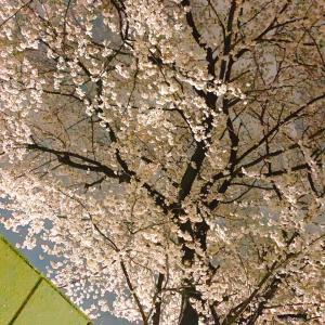 *夜桜は理性が揺らぐ。