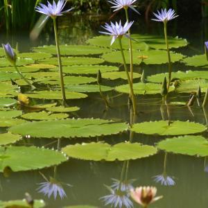 花美のブルー睡蓮