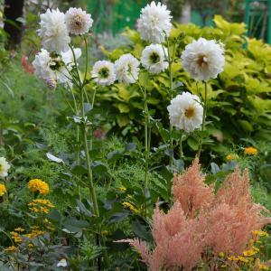 花美の庭のダリアも見頃です♪