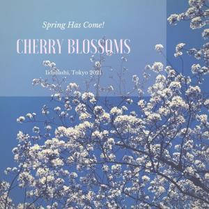 桜を愛でる季節。飯田橋駅前、外堀通り沿いの桜を撮ってみました【花】