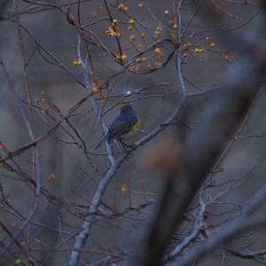 日の出からと日没前と1時間半ずつ青い鳥探し