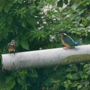 7月24日 幼鳥がいた!