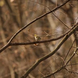 11月26日 東の公園で青い鳥