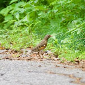 高原の帰り道に キビタキ幼鳥