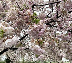 雪の日の桜になりました