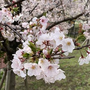 3月最後の日の桜です