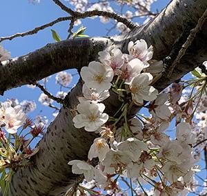 今年の桜写真はこれでおしまい