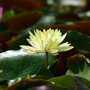 睡蓮の咲く池で
