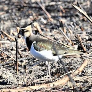 桜草公園の野焼きの跡の野鳥