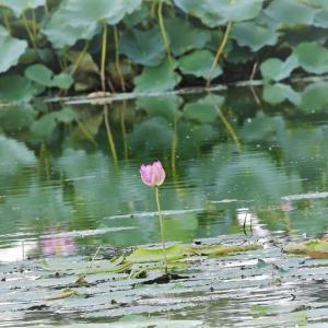 オリンピックの夏の蓮とヨシゴイ