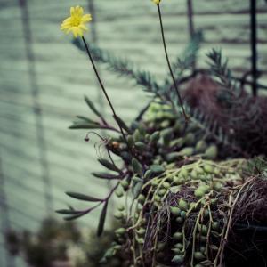 ルビーネックレス開花