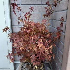 もみじの紅葉 年代物のツリー