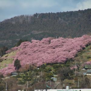 河津桜と菜の花   前編