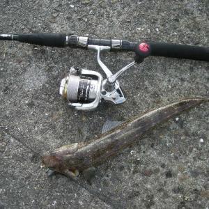 夏の魚 マゴチ登場