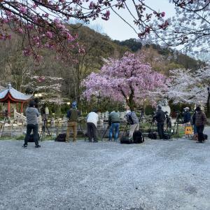 夜桜の流れる花びら