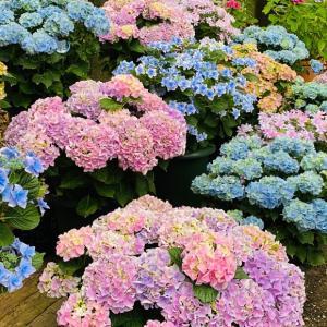 箱崎宮の紫陽花祭り。