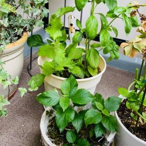 ベランダ菜園 今年も大葉の勢いがすごい!