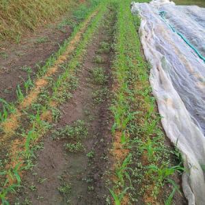 トウモロコシは順調です、そして追加播種しました♪