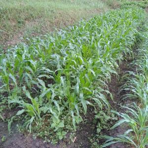 トウモロコシの除草完了