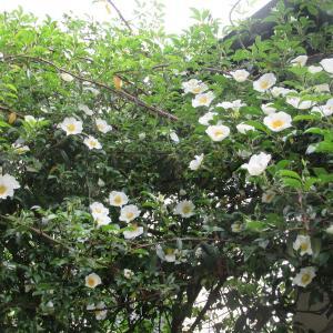 バラの季節が来ました