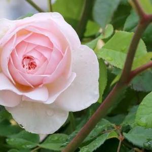 遺産という意味に匹敵する美しさのある薔薇、ヘリテージ
