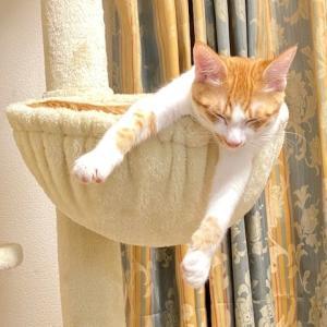 ニャンズ(猫たち)LOVE♡ジョージの寝落ち