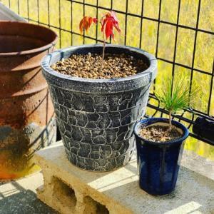 お気に入りの鉢に植え替え