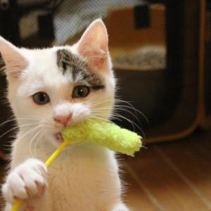 新しい保護っ子の名前はいずみちゃん&お見合い会参加猫の紹介です