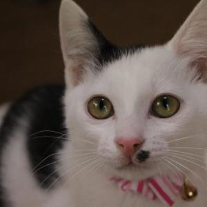 しろみちゃんの嬉しい正式譲渡が終わりました&お見合い会参加猫の紹介です