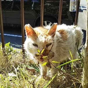 推定15才 地域猫公園のハナちゃん 喧嘩傷の治療してきました