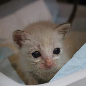 ウジがわいて衰弱していた子猫のあひるちゃん頑張っています 沢山のご支援ありがとうございます