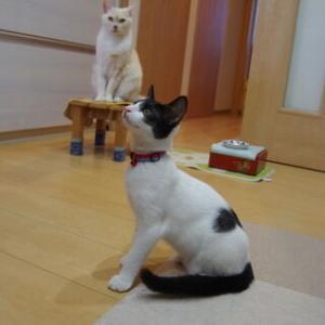 過去ブログより ☆子猫パミを監視するミルクん♪