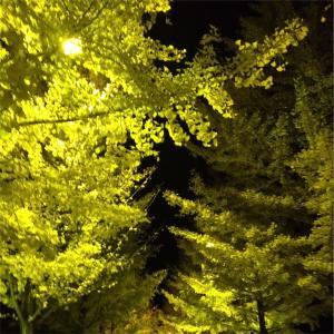 黄金に輝く銀杏♪