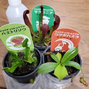 キモカワ!自宅で食虫植物を育て始めました!