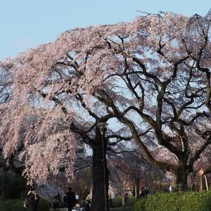 仙台も桜が満開になりました