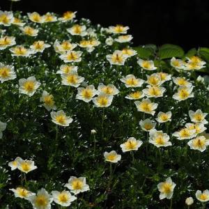 蔵王 御田ノ神湿原のチングルマ ~ コマクサも咲き始めた